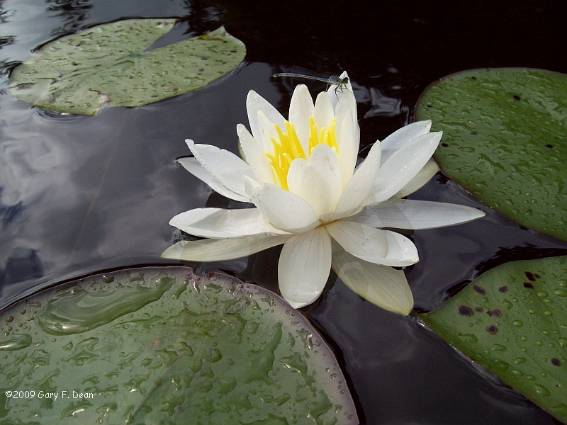 waterlilly.jpg